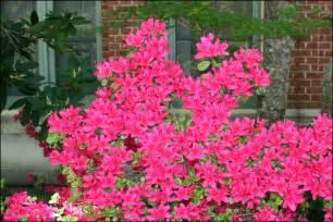 rhododendrons steve s genealogy blog
