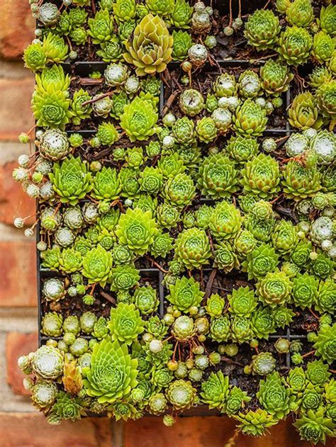 facts about succulents everything you need to know about succulents gardens