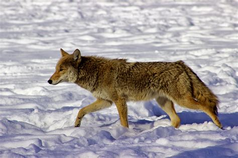 are coyotes color blind the world changes why color blind