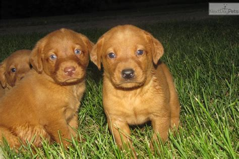 whispering pines puppies fox lab puppies whispering pines lab puppies cara membaca alquran