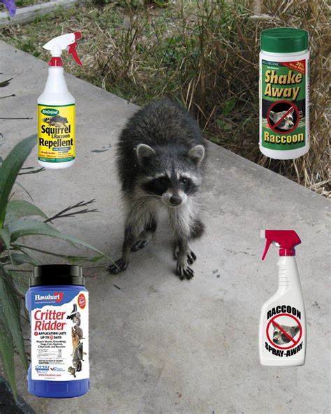 Getting Rid Of Raccoons In Backyard by How To Get Rid Of Raccoons In Your Backyard Dock Lighting