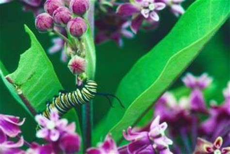 where to find caterpillars in your backyard how to find a caterpillar in your front yard home guides