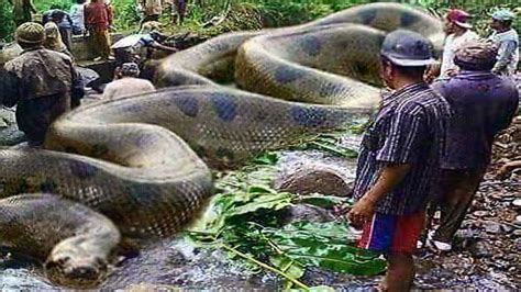 largest in the world largest snake in the world on 2017 up to the anaconda hd