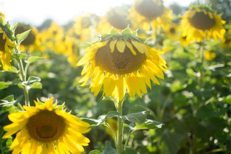 sunflowers crop production agronomy kansas state