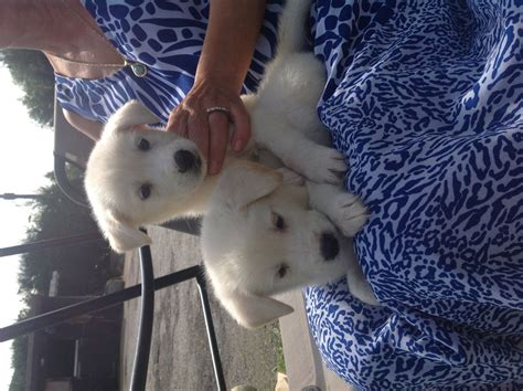 husky x golden retriever puppies for sale golden retriever x siberian husky puppys for sale manchester greater manchester