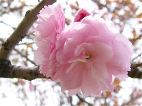 wallpaper bunga yang cantik dan indah gambar gambar bunga sakura yang indah dan cantik gambat