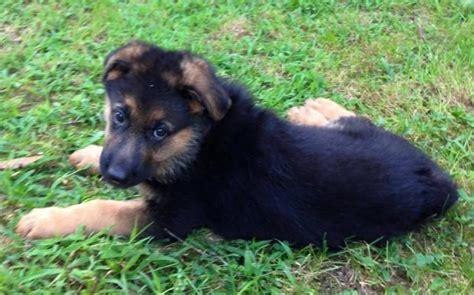 german shepherd puppies for sale in new german shepherd new born puppies for sale in wisconsin