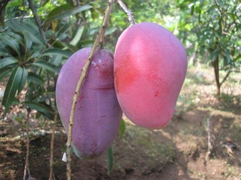 Bibit Mangga Irwin Di Bogor jual bibit pohon mangga irwin oase