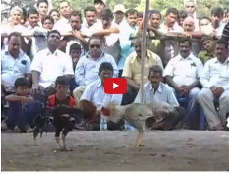sabong derby 2016 show people are awesome 2016 cockfighting derby 2015