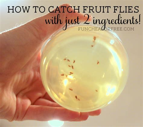 how to trap house flies how to catch flies in house 28 images get rid of pesky fruit flies with an easy