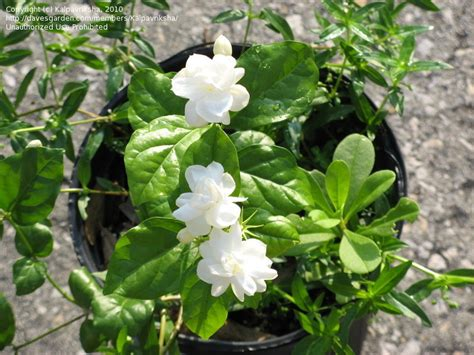 fragrant plants list specialty gardening fragrant plants now in season 1 by