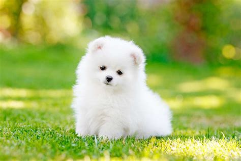 german spitz puppies meet the german spitz mittel klein