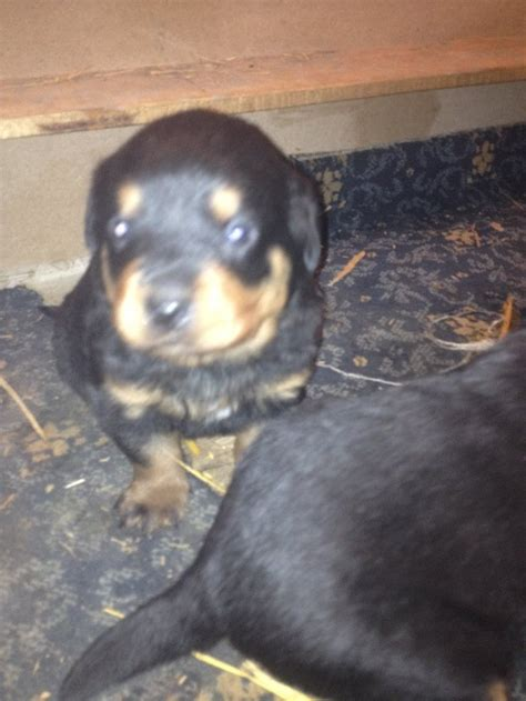 rottweiler puppies for sale in melbourne pets pakistan rottweiler puppies for sale