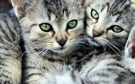 imagenes wallpapers gatos 10 imagenes de gatitos para fondo de pantalla
