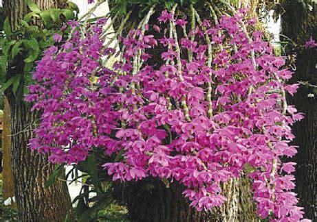 Tanaman Hias Anggrek Dendrobium Calophyllum Limited mengenal tanaman hias anggrek dendrobium dan cara merawat serta gambarnya referensi ilmu