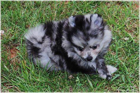 blue pomeranian puppies blue merle pomeranian puppy need a photo photography animals birds fish