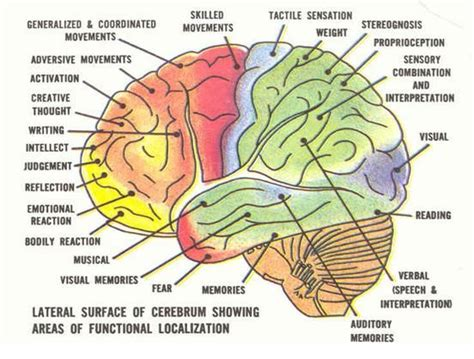 sections and functions of the brain 11 best science images on pinterest the brain neurology