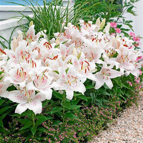 Lilien Im Topf Kaufen 2417 by Orientalische Lilie Muscadet Kaufen Bei G 228 Rtner