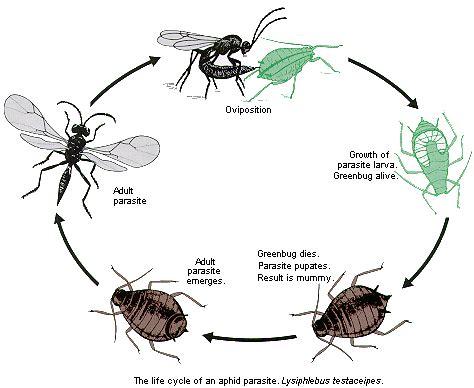 wasp cycle diagram wasp adaptive value