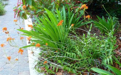Oncidium Sphacelatum Orchid Picture Of Sanibel Moorings Sanibel Moorings Botanical Gardens