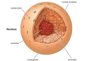 animal cell nucleus function