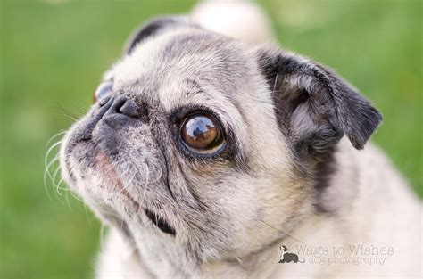 pugalug pug rescue how i work with deaf dogs guest post by blanche axton eileenanddogseileenanddogs