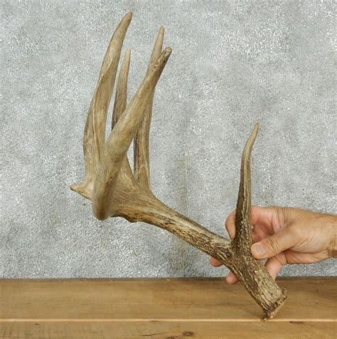 Deer Sheds For Sale whitetail deer antler shed for sale 12560 the taxidermy store