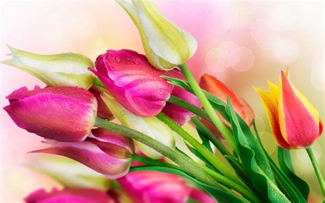 imagenes tulipanes rosas tulipanes rosas hd fondoswiki com