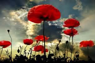 poppy flower meaning flower meaning