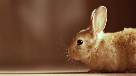 cute rabbit hd wallpaper cute bunny hd wallpaper wallpup com