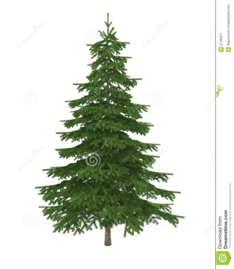 fir tree isolated on white background stock image image