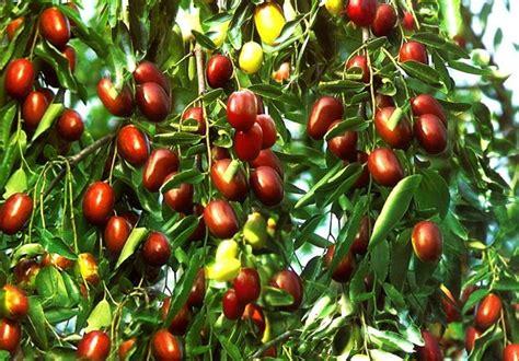 fior di giuggiola giuggiolo piante da frutto pianta di giuggiolo