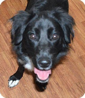 dogs for adoption ta border collie flat coated retriever mix for adoption in minerva ohio gracie