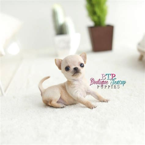 baby teacup puppies baby mojo tiny micro baby boy sold boutique teacup puppies