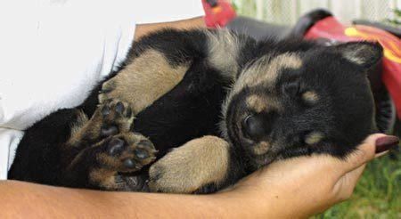 akita shepherd puppy akita shepherd akita x german shepherd mix temperament puppies pictures