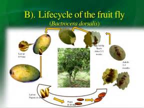 Life Cycle Of A Fruit Tree - fruit fyl attack and controlling
