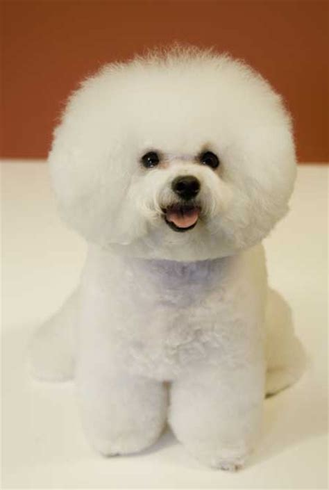 Does A Bichon Frise Shed by Top 15 Breeds That Do Not Shed Much Easyday