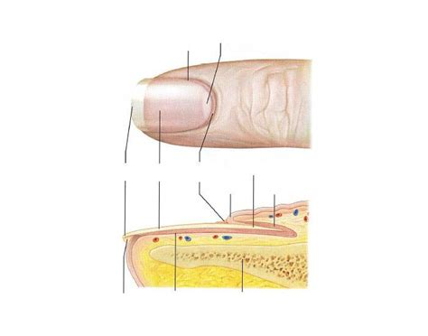 fingernail diagram nail structure