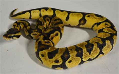 baby enchi pastel ball pythons