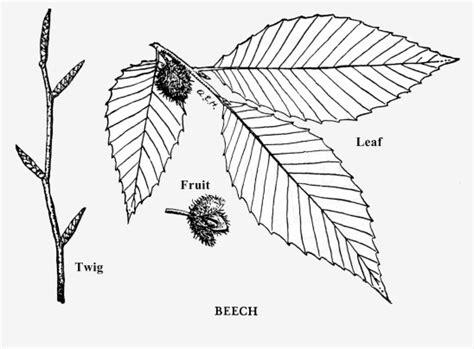beech tree coloring page american beech