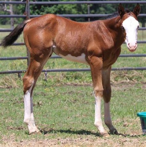 caballos cuarto d milla caballos de registro caballos pintos caballos cuarto de