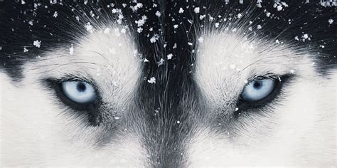 wolf husky puppies with blue eyes honden foto s kunst hondenfun nl