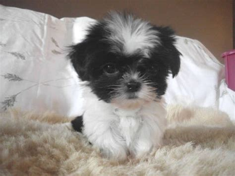 micro shih tzu tiny imperial shih tzu puppy adorable puppys and