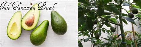 info tanaman buah