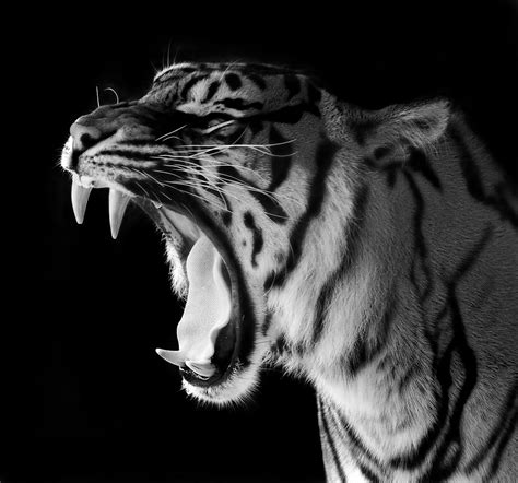imagenes de jaguar blanco my what big teeth you have in black and white previously