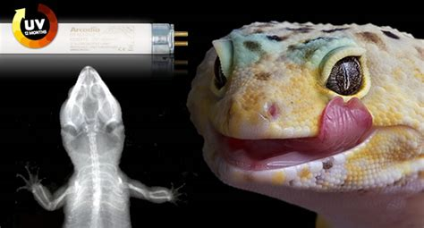 do leopard geckos need a heat l leopard geckos do need uvb reptile centre