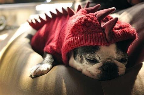 pug dinosaur costume cuteness alert pug puppy in dinosaur sweater the worleygig