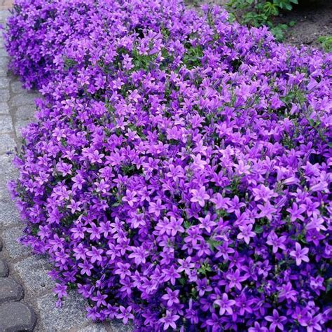 18 best flowering ground cover plants canula