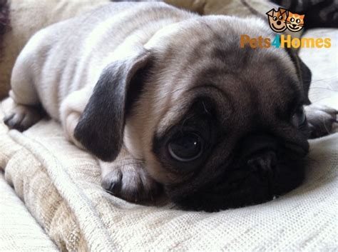 pugs in essex pug puppy for sale in essex romford essex pets4homes