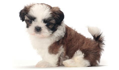 breed shih tzu shih tzu breed information